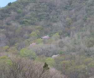 4/22 擬宝珠山麓の山桜