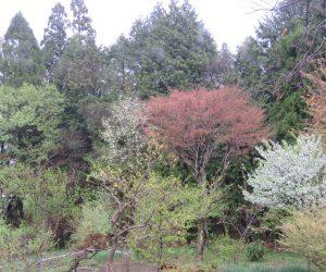 落葉樹の芽吹き  中央イタヤカエデ、左コブシ、左端ウワズミ桜、 右端の上は山桜の若葉、中の白は姫リンゴの花、下は日向ミズキ