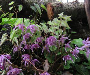 4/26 イカリ草  蒜山は山陰気候なので常盤イカリ草です。
