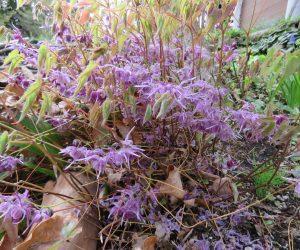 4/26 イカリ草  蒜山は山陰気候なので常盤イカリ草です。 今年は雪が少なかったので歯がほとんど枯れてしまいました。