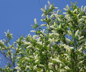 4/29 ウワミズ桜