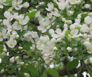 4/30 ズミ(コナシ) 上高地のコナシ平はこの木が沢山あるところから名付けられた。