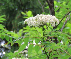 5/8 ナナカマドの花