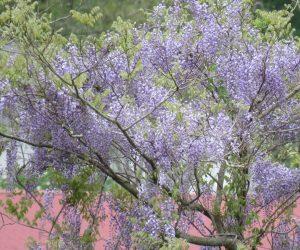5/9 山藤   最近は山が荒れていて藤の花が目立ちます、スギ、ヒノキなどの植林地にも進出しています