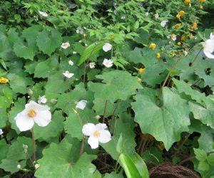 5/10 シラユキゲシ  ランナーで増えるので庭植には注意が必要、あちこちに侵入して完全駆除が難しい。