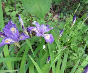 5/10 姫シャガ  姫シャガと言うより姫アヤメと言った感じの花ですね