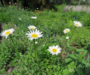 5/10 シャスターデージー 園芸植物が逃げ出して道端に群生、厄介な帰化植物