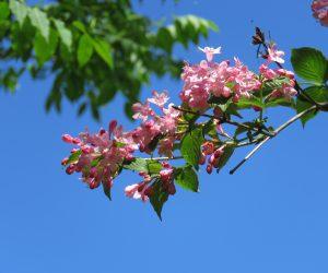 5/21 タニウツギ 田植えの頃に咲くので蒜山では「田植え花」と呼んでいます