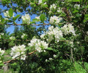 5/21 タニウツギ 白花 殆どピンク色なのですが偶に白花があります