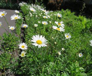 5/22 シャスターデージー 庭から道端へと逃げだした外来植物、