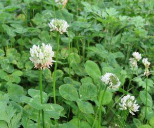 5/27 レンゲ(ゲンゲ) シロツメクサ(白詰め草)ヨーロッパから陶器などを送るときにクッションとしてこの干し草を使ったそうです。