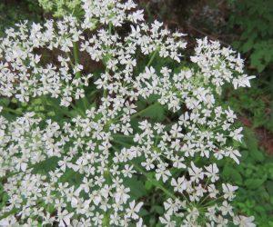 5/28 ハナウド シシウドによく似た花ですがシシウドは夏の終わりの花、ニンジンの花も似ていますね。