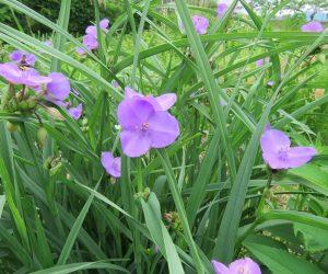 5/28 ムラサキツユクサ  この花も庭から逃げ出した帰化植物