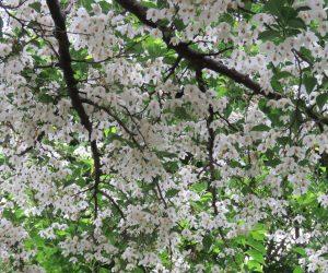 5/30 エゴの花