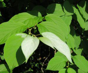6/2 マタタビの葉 花が咲く頃になると先端の葉が白く成り虫を招き寄せる、花の時期が過ぎると白が抜けて行きみどりが戻って来ます。