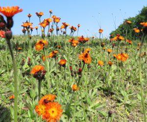 6/2 コウリンタンポポ 牧草の種に紛れ込んできた帰化植物。