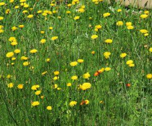 6/2 ブタナ 牧草の種と一緒にやってきた外来植物。