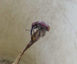 6/3 モモチョッキリゾウムシ 桃の実に卵を産み付けその枝を皮を残して切ると言う悪者。 オトシブミも同じ仲間