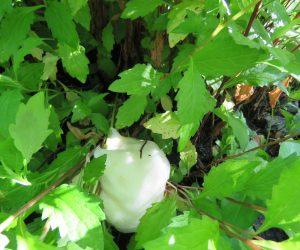 6/7 モリアオガエル卵塊 茅部神社の駐車場でたくさん見ることが出来ます、桜の木やカキの木、場所がないとアゼにも産み付けます。