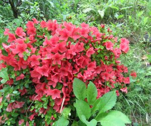 6/8 ヤマツツジ 株によっては開花の時期にばらつきがあります。