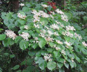 6/8 深山ガマズミ 木も葉も花もガマズミを小型にした感じ