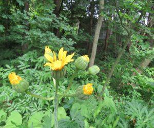 6/10 ハンカイ草 花がたくましく見えるのでの英雄樊噲(ハンカイ)から名前をもらった。