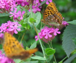 6/20 ウラギンヒョウモン 蝶の名前は自信が有りません