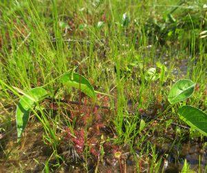 7/19 モウセンゴケ  犬挟湿地 花が終わって種がついています