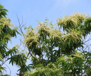 6/22 栗の花 蒜山では梅雨の中頃咲き始めますが「栗花落」と書いて梅雨入りと読む苗字があるそうです