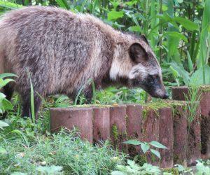 6/29 タヌキ タヌキがグミの実を食べに来ました、ヤマボウシの実が落ちるころにもやって来ます。