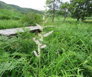 7/2 チダケサシ 郷原湿地 モウセンゴケも観察でき小さいが秋まで楽しめます。