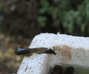7/20 水を離れるモリアオガエルのオタマジャクシ