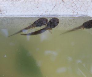 7/20 モリアオガエルのオタマジャクシ後足が出ています 後足が出ると間もなく水から出て行きます。 尻尾は水から離れて数日のカロリー源