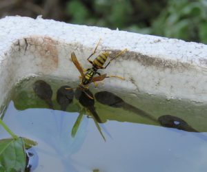 7/20 アシナガ蜂 暑いので水を取りに来ています。 10分に一度くらいやって来ます