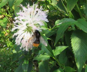 7/26 黒マルハナバチ  モグラの穴などを利用して土中に巣を作り蜜と花粉を集め社会生活をしています。