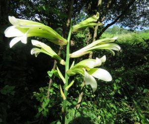 7/30 姥百合 花が咲く頃葉(歯)が無くなっているのでウバユリ