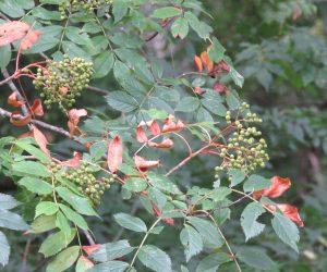 8/6  ナナカマドの実 水不足で葉が色ずいています