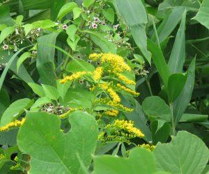 8/6  野生化したソルダコ(ソリダゴ) 栽培しているソルダコとは少し違います。 実生で増えたのでしょう