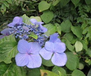 8/11 アジサイ  蒜山では8月に入ってもアジサイが咲いています