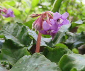 8/17 岩タバコ  水不足で花が咲くか心配していたのですが何とか咲きました