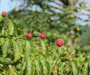 8/19 ヤマボウシの実が熟れる 今年は水不足で実が小さく熟れるのもバラバラです。