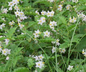 8/ 31 ワルナスビ  花はナスにそっくりですが葉も茎も棘だらけ