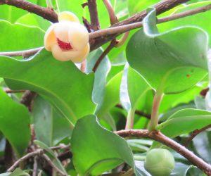 9/7 サネカズラ    別名ビナンカズラ、此の木の樹液を整髪料に使った、との事