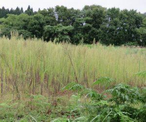 9/8 耕作放棄地  耕作放棄して2年、ヒメジョンの群落になっています。 ここ10年くらいで耕作放棄地が急速に広がっています。
