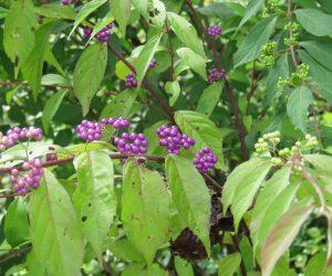 紫式部  小紫です。
