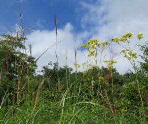 ススキとオミナエシ  蒜山の草原でもオミナエシがほとんど見れない