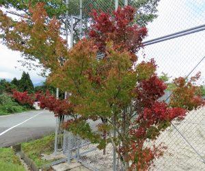 紅葉したモミジ  8月の水不足で紅葉したので落葉はしません。