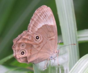 ヒカゲチョウ  地味ですがこれでも蝶の仲間