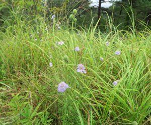 9/10 三平山ログハウスの草原、マツムシソウとススキ