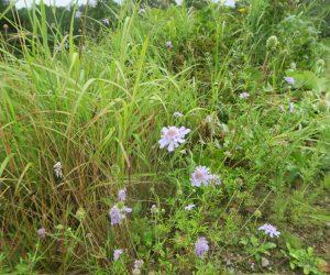 9/10 三平山ログハウスの草原、松虫草が大分増えてきました。 これからキキョウが咲きます。 夏にはユウスゲ、初夏にはレンゲツツジの草原になります。
